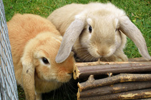 Rabbits will be just one of the small animals discussed at this year's BVA Congress CPD