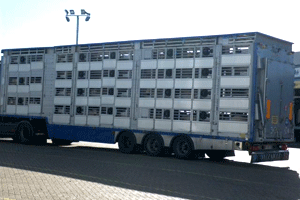 AHVLA officers stopped a lorry transporting sheep from boarding a boat in Ramsgate. Credit: RSPCA.