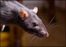 UFAW addresses humane control of rats and mice