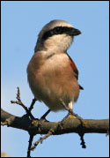 A male red-backed shrike