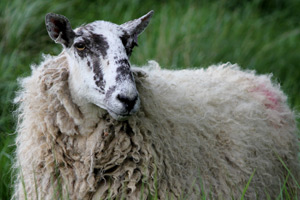 Sheep scab is a major source of economic loss in affected flocks and is a serious threat to sheep welfare.