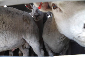 Sheep being transported to Europe via Ramsgate. Image credit RSPCA.