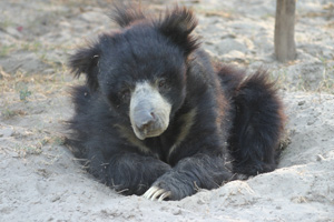 Sloth bears are classified as