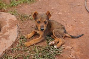 The WVS' current campaign, Mission Rabies, will attempt to vaccinate 50,000 Indian street dogs in one month.