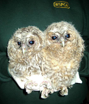 These two tawny owlets were discovered in the boot of a car during a routine police check.