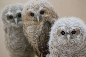 The RSPCA has said that tawny outlets found knocked off their perch do not always need rescuing