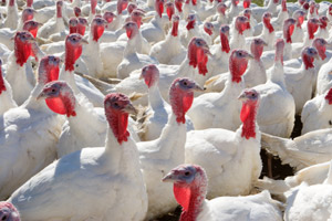 The affected flock has been trated with antibiotics and has made a