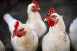 Research from the RVC has demonstrated that domesticated hens, unlike humans, do not form friendships.