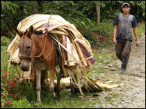 In Ecuador, the harvest of a special plant whose leaves are used  for fabric, is transported by mules