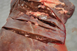 The risk of liver fluke in Wales, Scotland and western Scotland remains