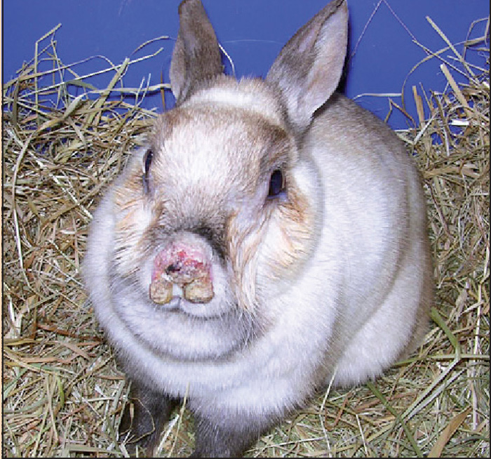 Respiratory Diseases In Rabbits Vet Times