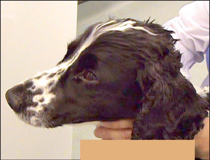 steroid myopathy in dogs