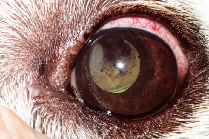Causes Of Pink Eye In Dogs